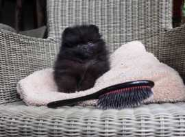 Mini black Pomeranian boy