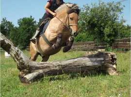 Free adoption of 7 year pony fjord