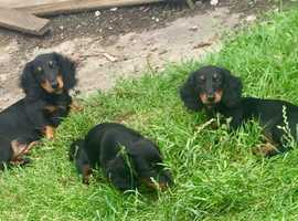 KC  MINIATURE LONG HAIRED  DACHSHUNDS
