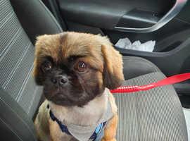 Male pekingese kobe perfect cuddly doggy