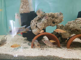 Home bred cichlids haps and mbuna
