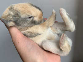 Baby rabbits for sale mini lop
