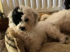 stunning F1 poochon/bichpoo (bichon x poodle) pups