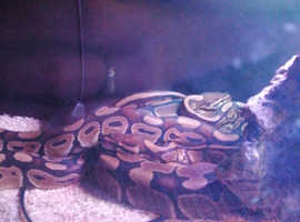 Full grown Male clown ball python for sale £150