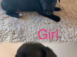 Bedlington whippet terrier puppies