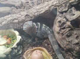Mexican spiny tail iguana with full setup