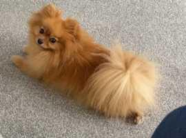Tiny! Tiny! Tiny! Pomeranian girl for sale