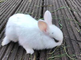 Netherland Dwarf and Lionhead bunnies £30 each 2 for £50