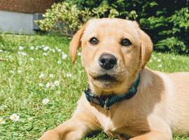 IKC Labrador Puppy