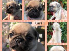 Stunning pedigree pug puppies