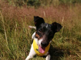 4 year old Jack Russell
