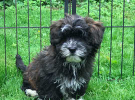 Ready now 2 fluffy playful toy poodle x Lhasa