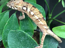 Female panther chameleons