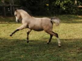 Welsh sec a colt foal
