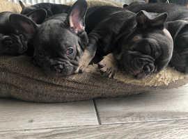 5 beautiful blue and tan french bulldog puppies