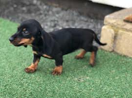 Mini Dashound puppies forsale