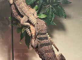 Madagascan Spiny Tail Iguanas WOW