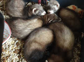 European polecat cross  kits
