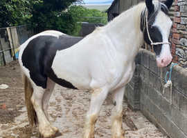 Well bred WPBR coloured gelding