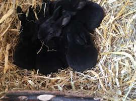 Gorgeous black Rex rabbits for sale