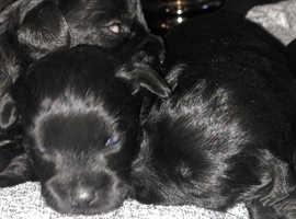 Miniature schnoodles pups