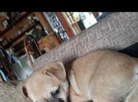 Chug pup