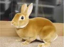 Mini Rex or normal Rex rabbit