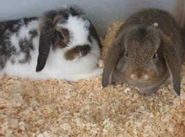 Pair Pure Mini Lop Rabbits