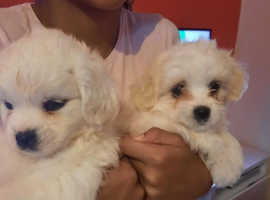 Maltese puppies for sell