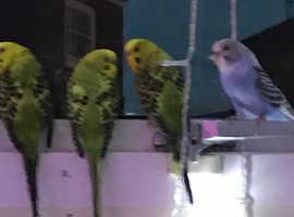 4 Budgies  3 green 1 blue