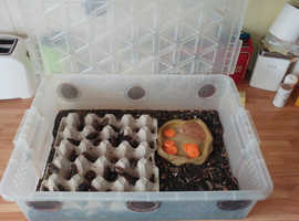 dubia cockroaches with box