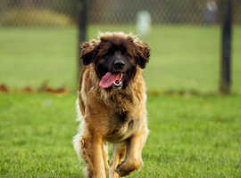 LEONBERGER PREGNANCY CONFIRMED