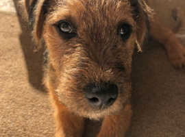 Lakeland x patterdale terrier 7 month old puppy