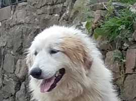 Pyrenean Mix for sale