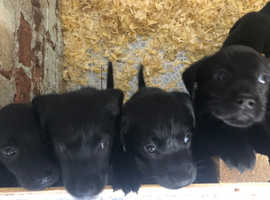 Beautiful Black Kennel Club Registered Labrador puppies for sale