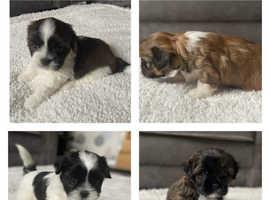 Beautiful Lhapso Apso Puppies