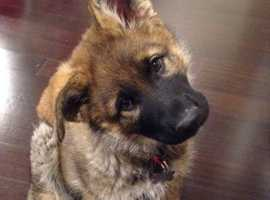 Girl GSD puppy *WANTED*