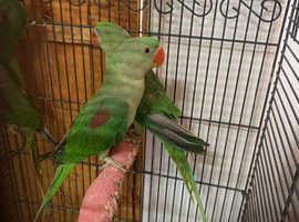 Alexandrine talking parrots babies