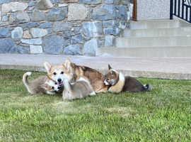 Beautiful Sable Welsh Corgi Pembroke Pups For Sale