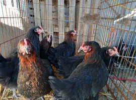 rhode rock hens