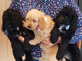 F1 COCKAPOO PUPPIES READY TO GO NOW