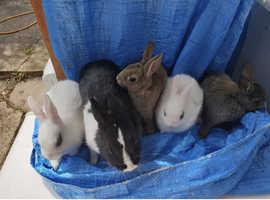 Netherlands dwarf bunnies for sale