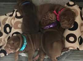 3 gorgeous shar pei puppies