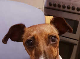 Jack Russell, female age 2