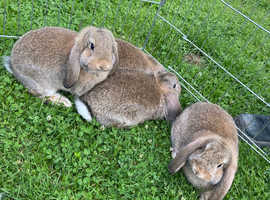 German lops x 7 fully vaccinated