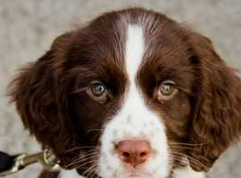*WANTED* Springer spaniel puppy male, white and liver.