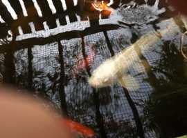 Large quantity of pond fish for sale, koi and gold fish includes, filter systems, uv lights, pumps and heater