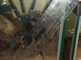 Mature Male C.cyanopubescens Hooked 29/3/21