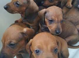 Daschunds for sale