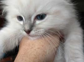 3 Birman Kittens For Sale